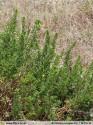 Artemisia campestris subsp. maritima