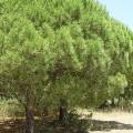 Pinus pinea