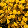 Stauracanthus boivinii