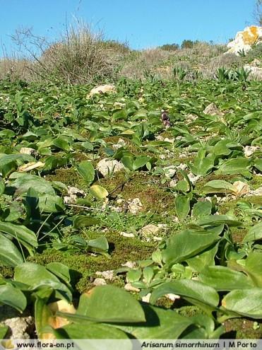 Arisarum simorrhinum