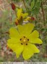 Halimium halimifolium subsp. halimifolium