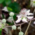 Rubus ulmifolius