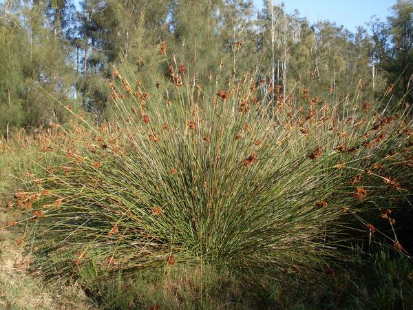 Juncus acutus subsp. acutus