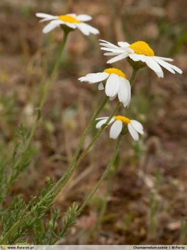 Chamaemelum nobile