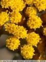 Helichrysum italicum subsp. picardii