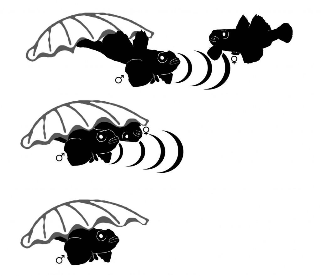 Inicia-se muitas vezes com a produção de sons por parte do macho para atrair a fêmea para o interior do ninho (imagem no topo). Se a fêmea entrar no ninho, segue-se a produção de sons (drums) por parte do macho, enquanto a fêmea coloca a postura (ovos) no tecto do ninho. O macho toma regularmente a posição da fêmea para fertilizar os ovos (segunda imagem). No final a fêmea abandona o ninho e o macho fica encarregue de cuidar da postura durante a sua incubação (última imagem). ILUSTRAÇÃO Manuel Vieira e Joana Vicente