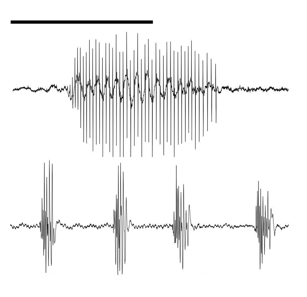 Produzem dois tipos de sons, drums e thumps, sendo o primeiro usado para atrair as fêmeas. ILUSTRAÇÃO Manuel Vieira e Joana Vicente