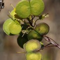 Biscutella sempervirens subsp. vicentina