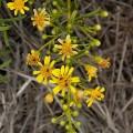 Dittrichia viscosa subsp. revoluta