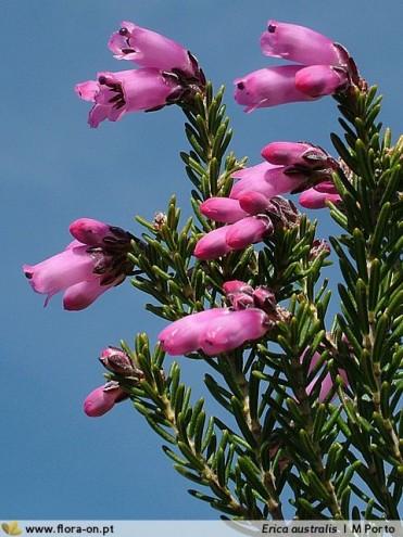 Erica australis