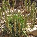 Plantago algarbiensis