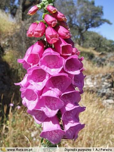 Digitalis purpurea L subsp. purpurea