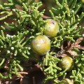 Juniperus turbinata subsp. turbinata