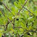 Rhamnus lycioides subsp. oleoides