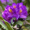Rhododendrum ponticum subsp. boeticum