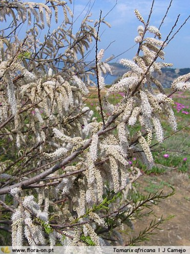 Tamarix africana var. africana Poir