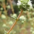 Thymus albicans