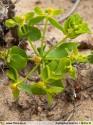 Euphorbia baetica