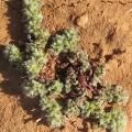 Herniaria algarvica